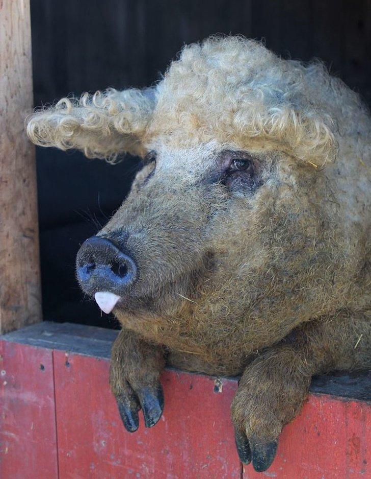 11674810 mangalitsa furry pigs hairy sheep 251 700 1583404100 728 e3d7298fb4 1584717822