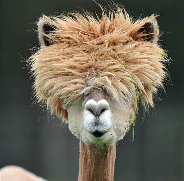 alpacas con pelazo 16