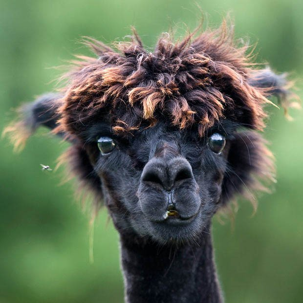 alpacas con pelazo 5