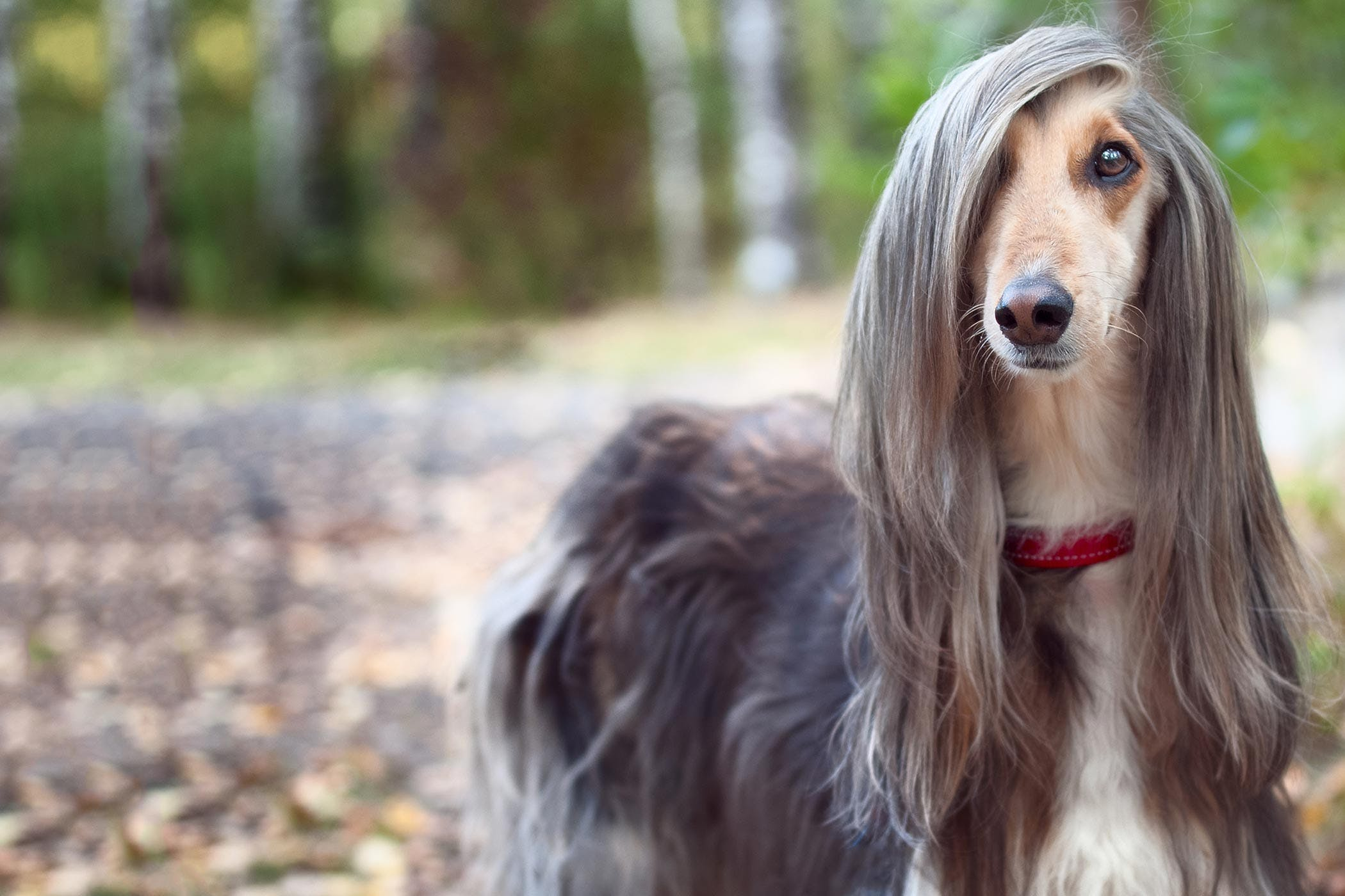 long haired pup
