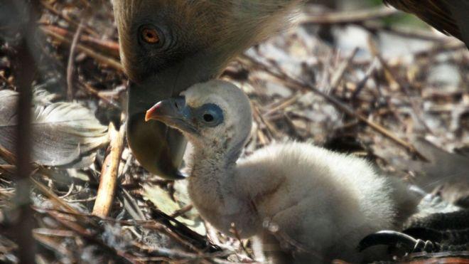Buitre leonardo y polluelo. Imagen vía BBC