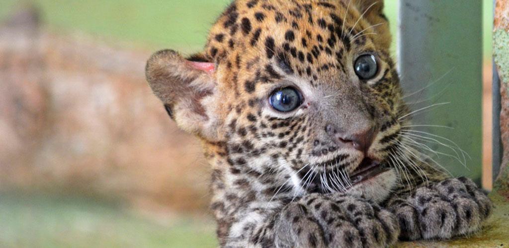bioparc valencia cachorro leopardo