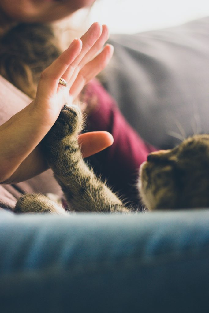 person giving high five to grey cat 38867