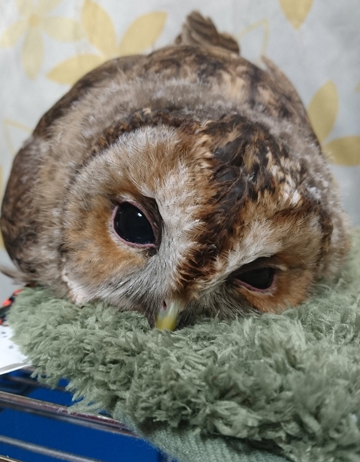 sleeping baby owls face down 16 5ef2f9f7c03c7 700