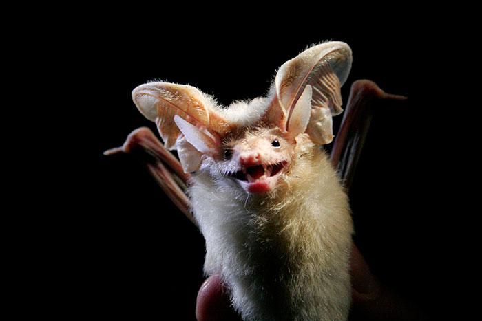 strange species of bats 5f0714bdd61b0 700