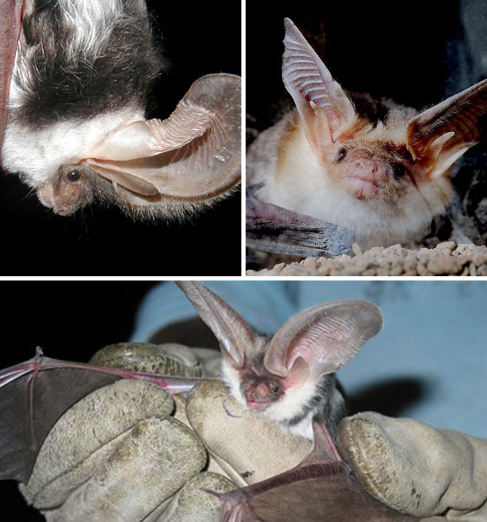 strange species of bats 5f0718c62f670 700