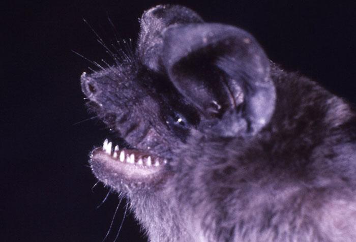 strange species of bats 5f1846793831d 700