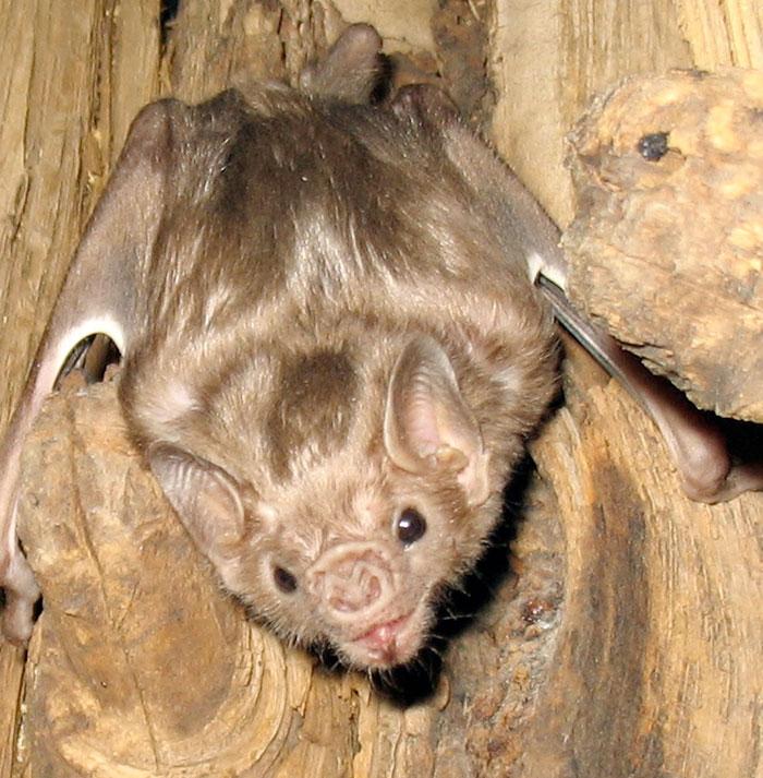strange species of bats 5f194b719ba0d 700